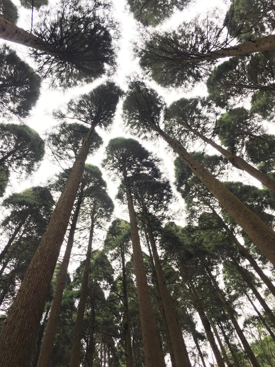 100年杉